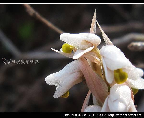 蘭科-細葉線柱蘭_03