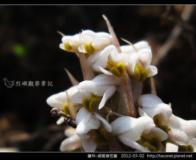 蘭科-細葉線柱蘭_09