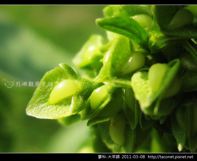 蓼科-大羊蹄_09