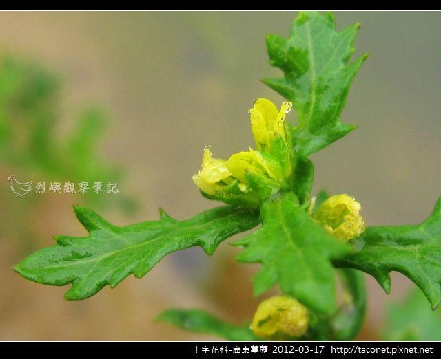 十字花科-廣東葶藶_09