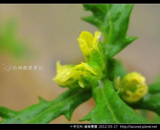 十字花科-廣東葶藶_10