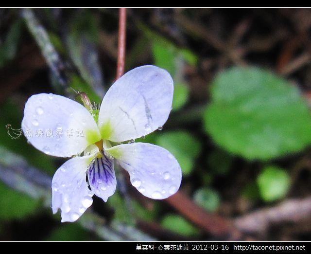 堇菜科-心葉茶匙黃_01