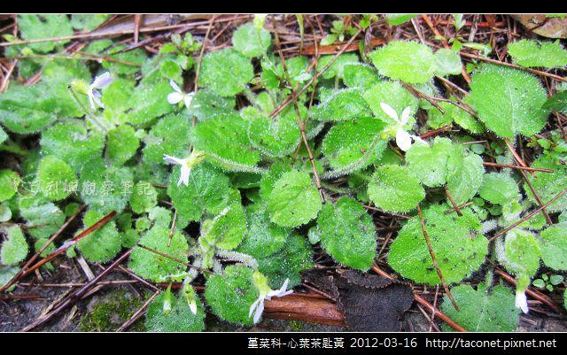堇菜科-心葉茶匙黃_04