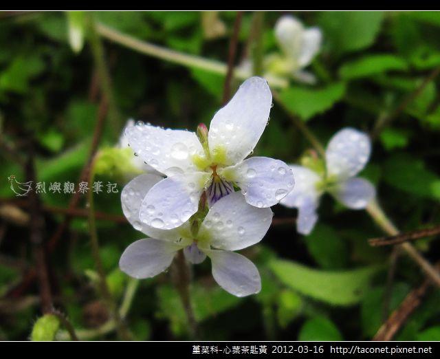 堇菜科-心葉茶匙黃_05