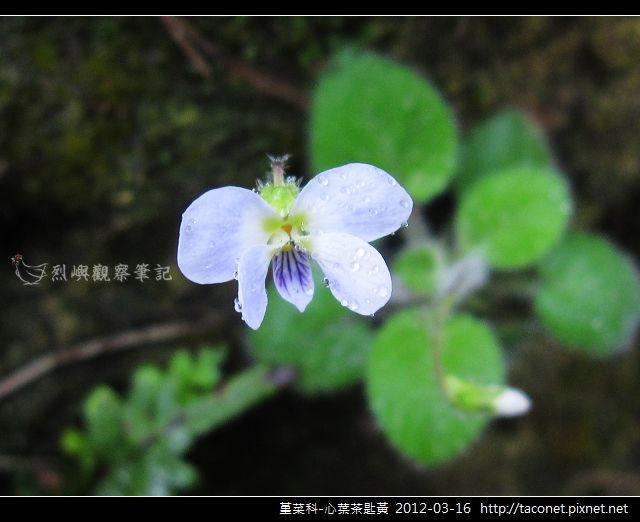 堇菜科-心葉茶匙黃_03