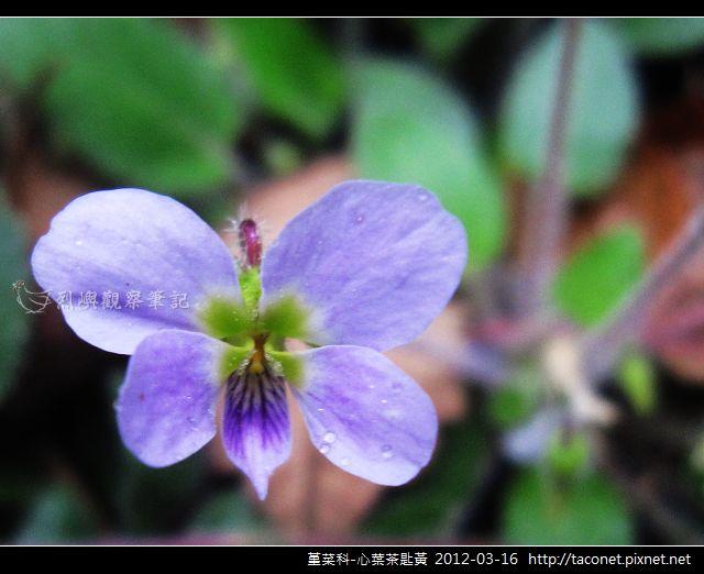 堇菜科-心葉茶匙黃_08
