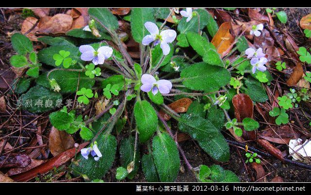堇菜科-心葉茶匙黃_09