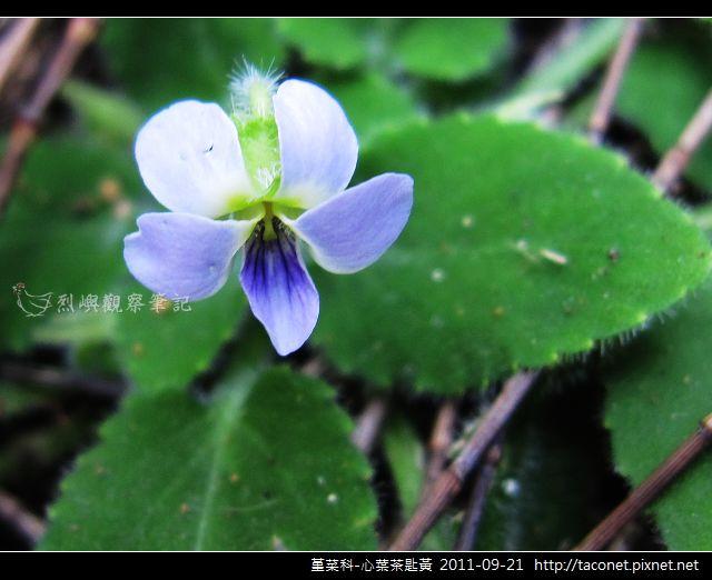 堇菜科-心葉茶匙黃_11