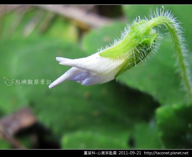 堇菜科-心葉茶匙黃_13