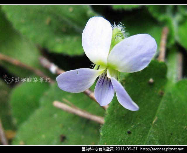 堇菜科-心葉茶匙黃_14