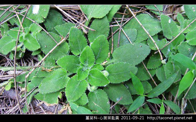堇菜科-心葉茶匙黃_15