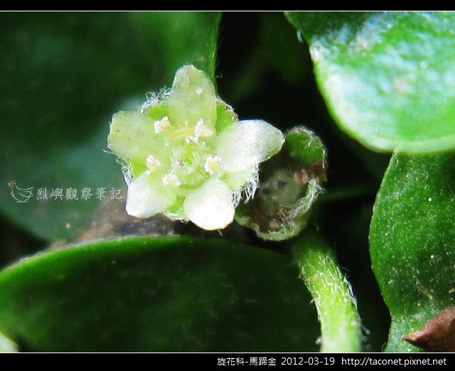 旋花科-馬蹄金_05