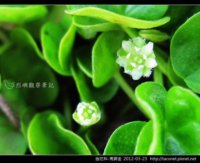旋花科-馬蹄金_07