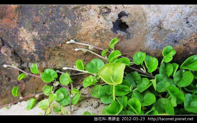 旋花科-馬蹄金_08