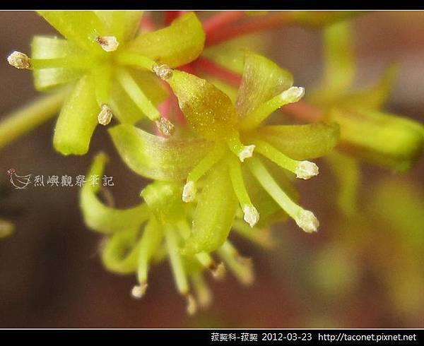 菝契科-菝契_09