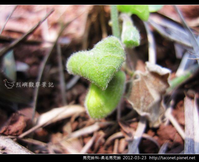 馬兜鈴科-柔毛馬兜鈴_05