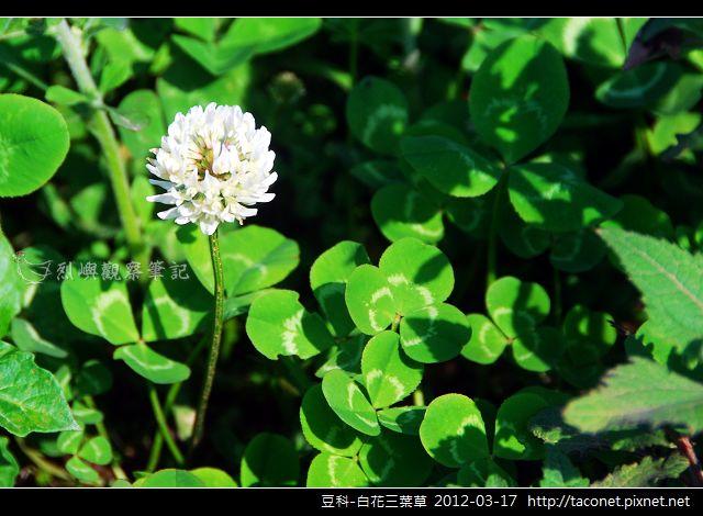豆科-白花三葉草_03