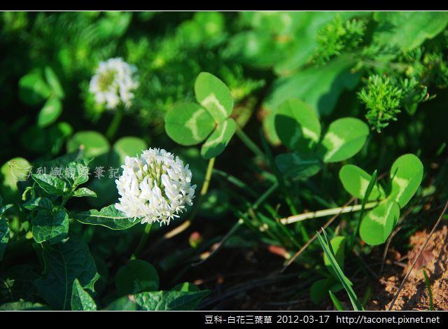 豆科-白花三葉草_05
