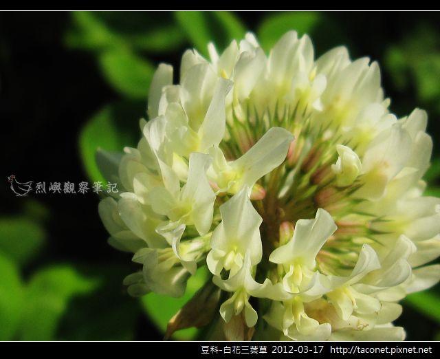 豆科-白花三葉草_06