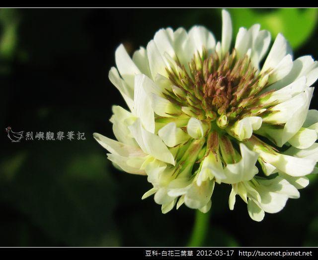 豆科-白花三葉草_09