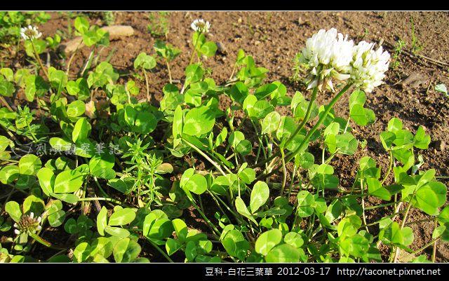 豆科-白花三葉草_08