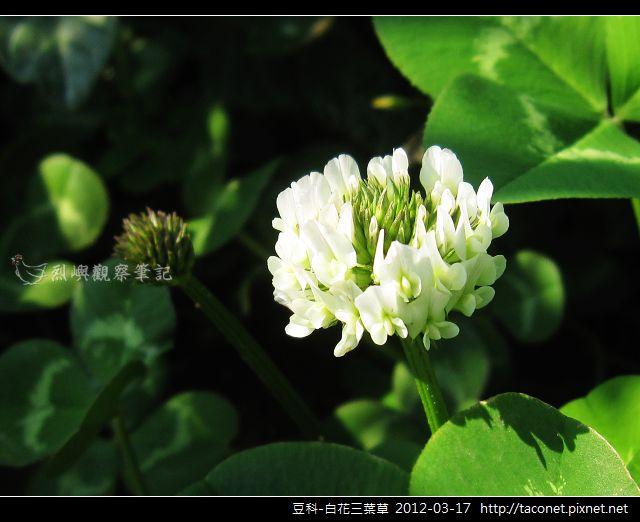 豆科-白花三葉草_10