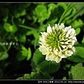 豆科-白花三葉草_11