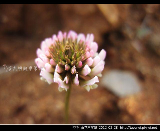 豆科-白花三葉草_14
