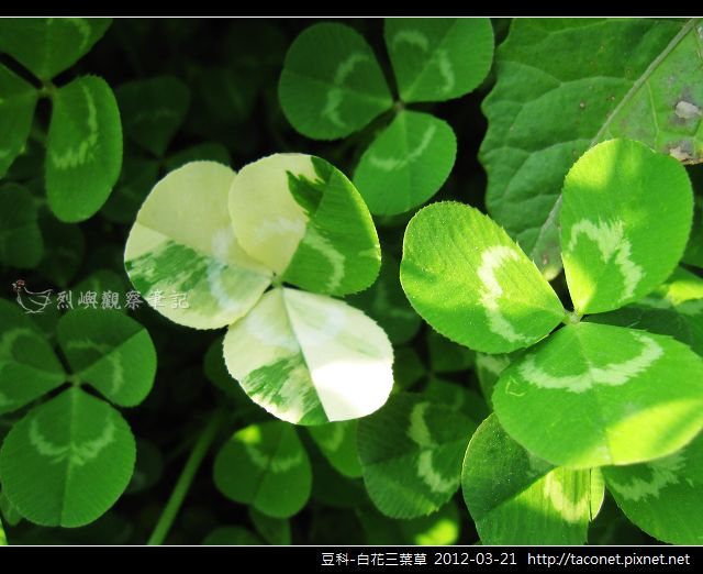 豆科-白花三葉草_12