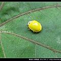 鞘翅目-黃瓢蟲_01
