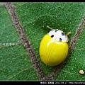 鞘翅目-黃瓢蟲_03