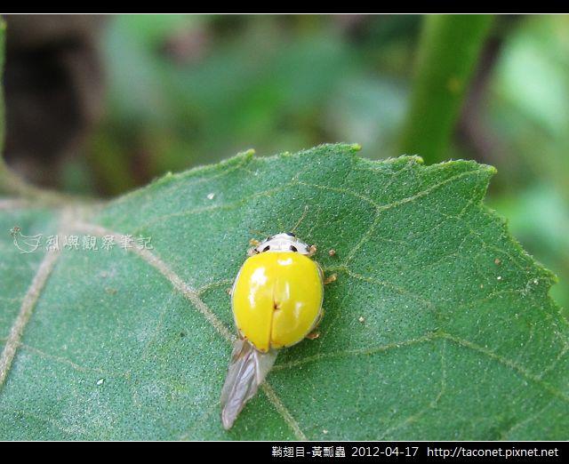 鞘翅目-黃瓢蟲_02