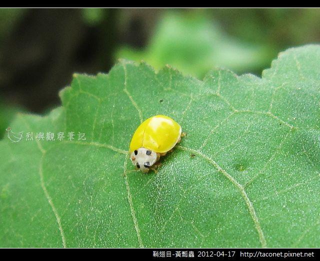 鞘翅目-黃瓢蟲_04