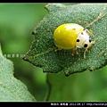 鞘翅目-黃瓢蟲_07