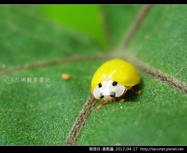 鞘翅目-黃瓢蟲_06