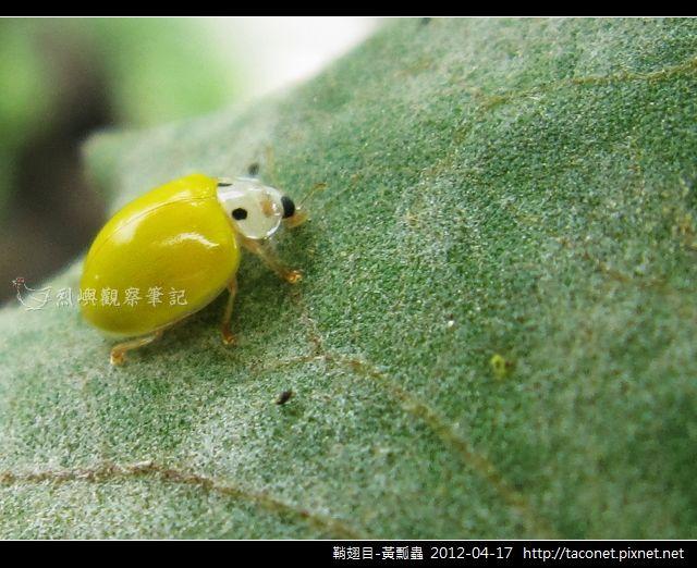 鞘翅目-黃瓢蟲_09
