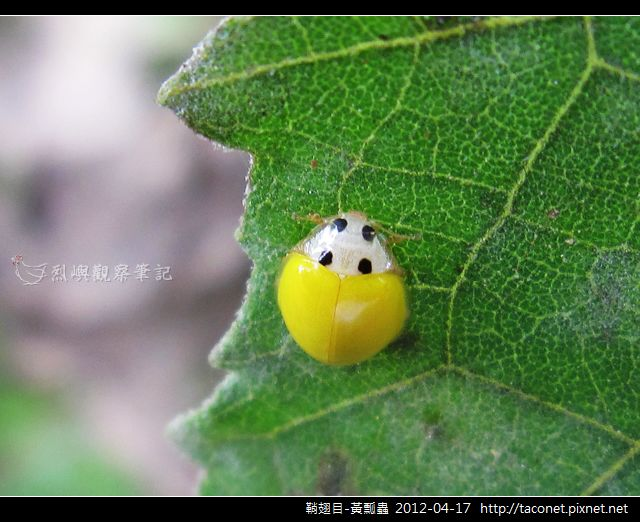 鞘翅目-黃瓢蟲_08