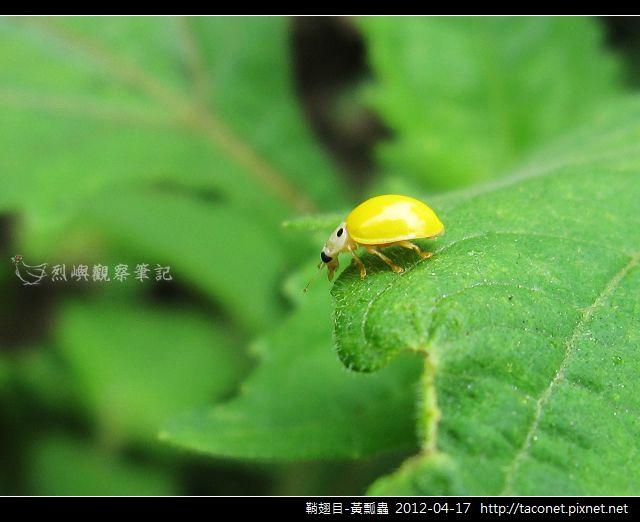 鞘翅目-黃瓢蟲_10