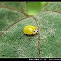 鞘翅目-黃瓢蟲_11