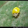 鞘翅目-黃瓢蟲_12