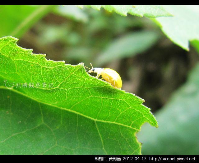 鞘翅目-黃瓢蟲_13