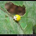 鞘翅目-黃瓢蟲_14