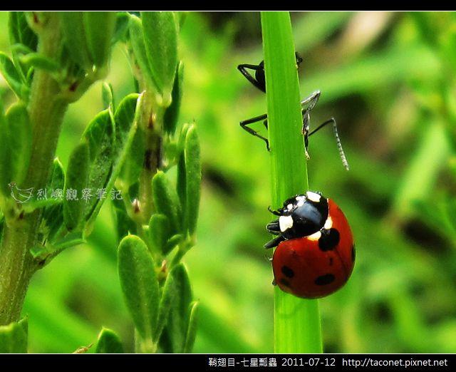 鞘翅目-七星瓢蟲_01