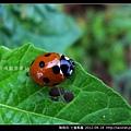 鞘翅目-七星瓢蟲_07