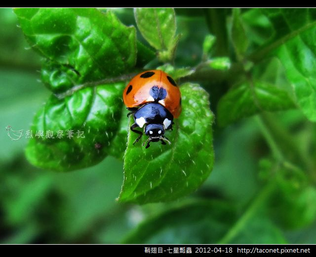 鞘翅目-七星瓢蟲_09