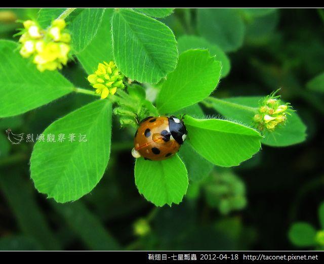 鞘翅目-七星瓢蟲_11