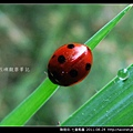 鞘翅目-七星瓢蟲_14