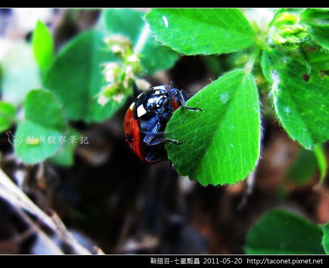 鞘翅目-七星瓢蟲_15