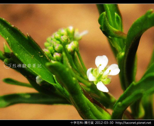 十字花科-獨行菜_03