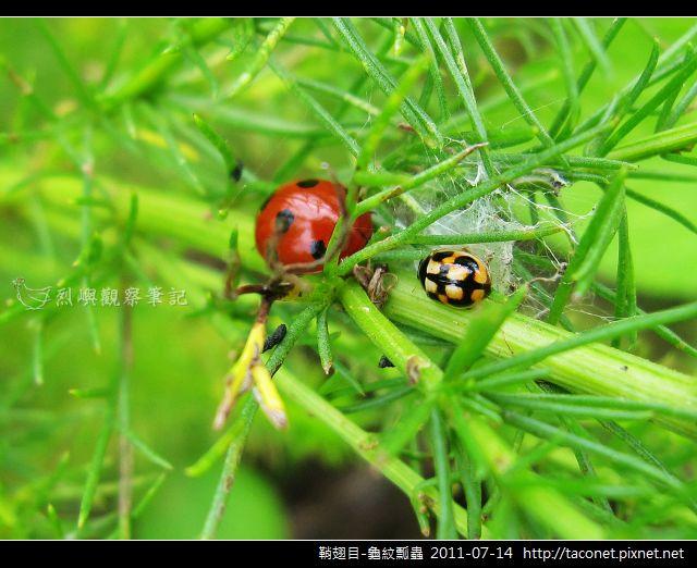 鞘翅目-龜紋瓢蟲_01